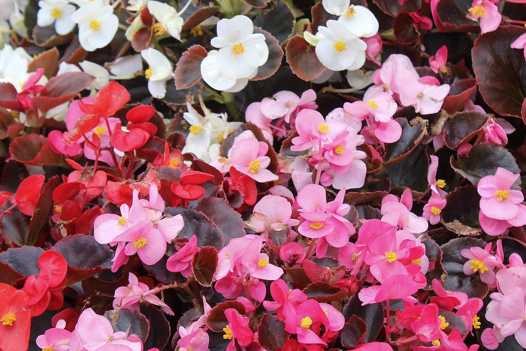 Gėlės begonijos