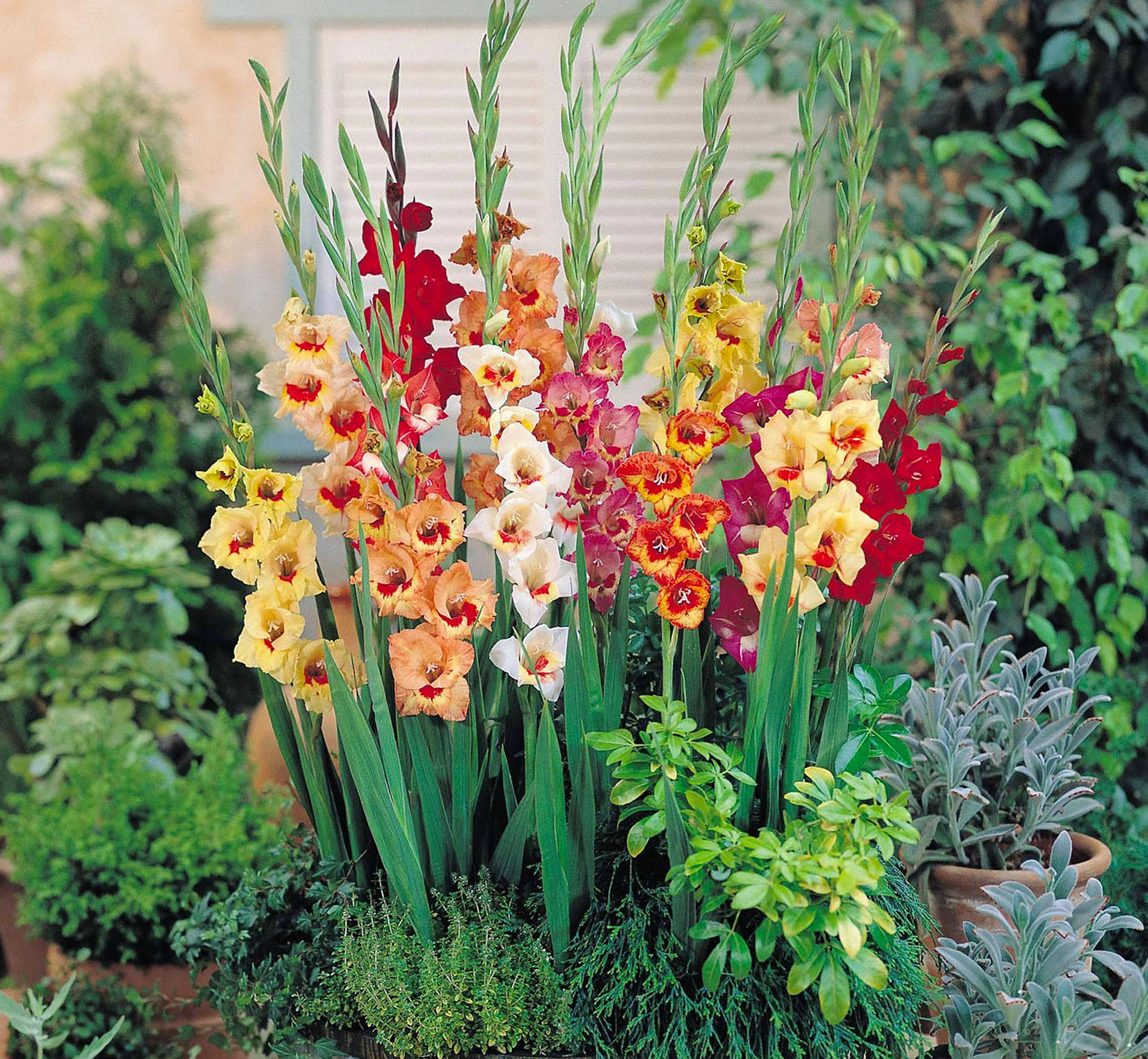 Gladiolių auginimas
