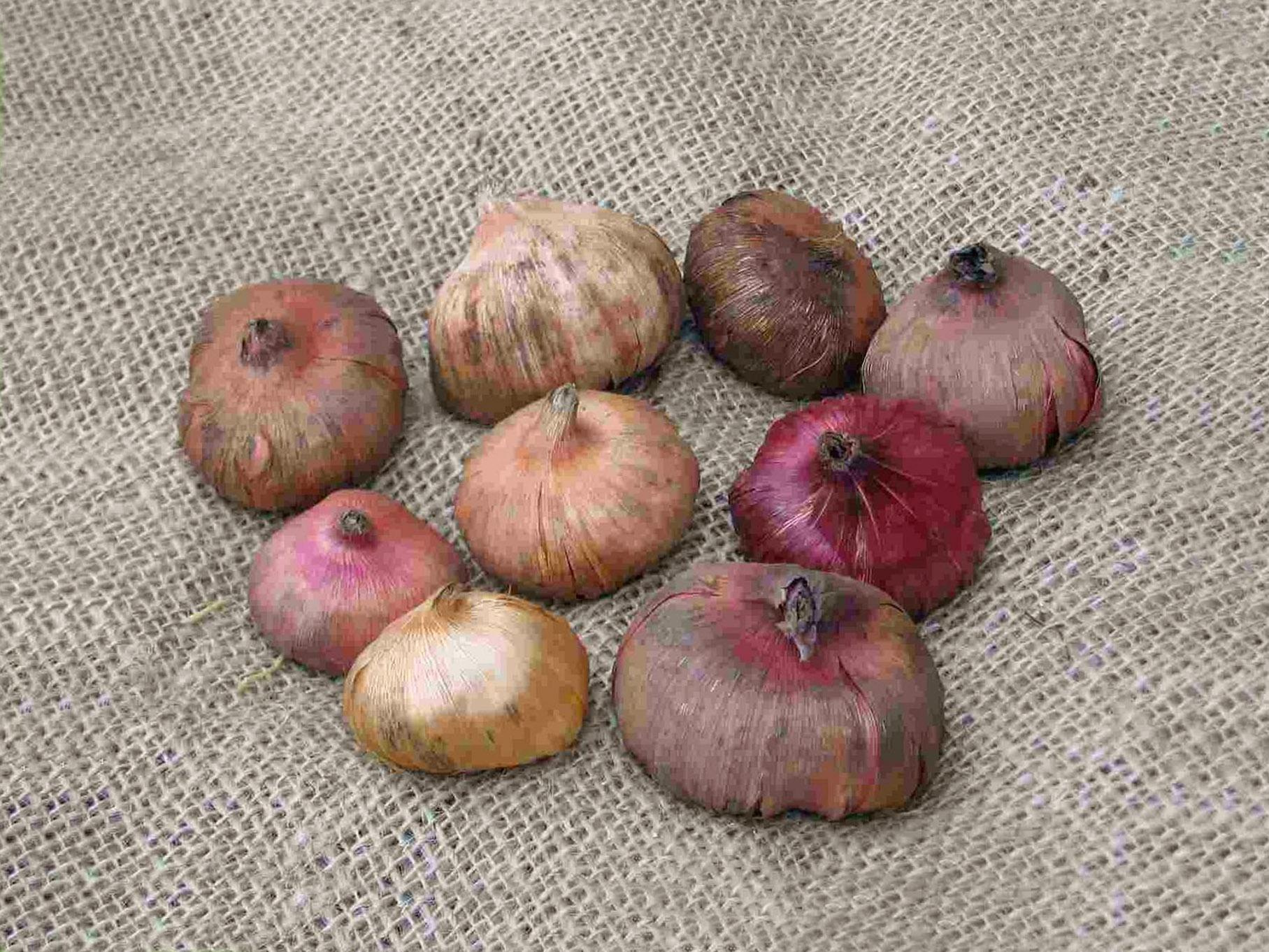 Gladiolių svogūnėliai
