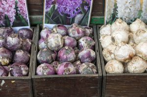 hiacintų svogūnėliai