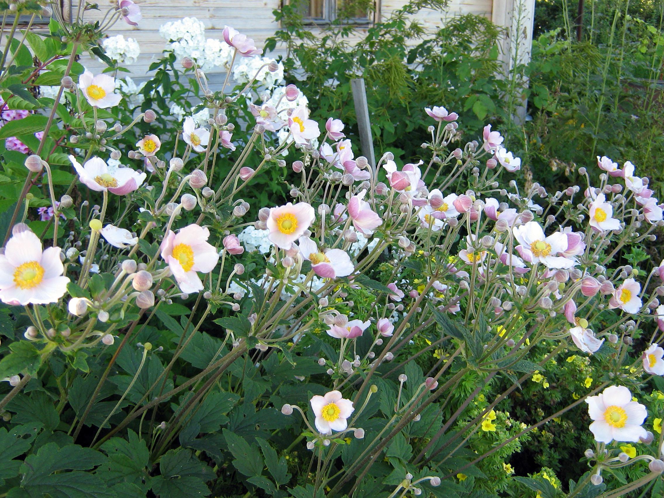 Japoninės plukės (anemone japonica)