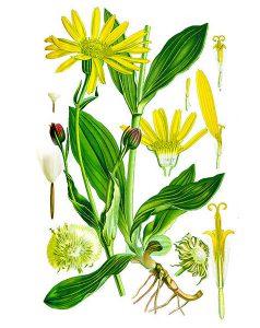 Kalninė arnika (vaistinis augalas)