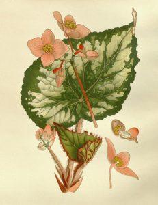 Kambarinė begonija botanikoje