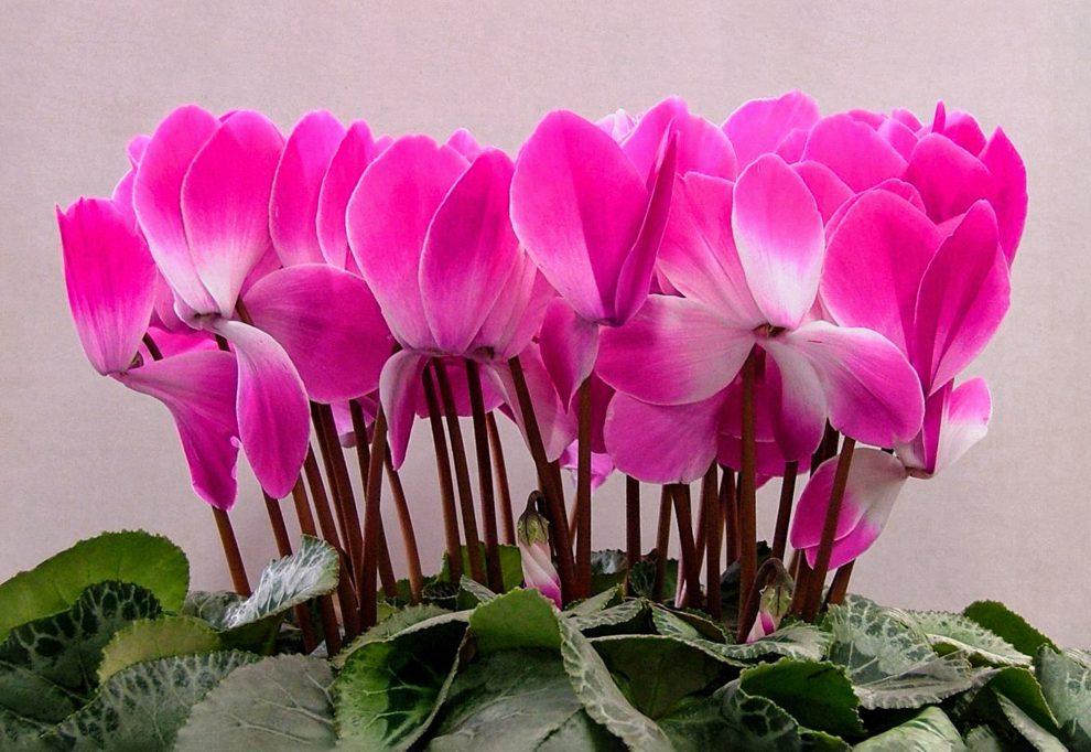 Kambarinė gėlė ciklamenas