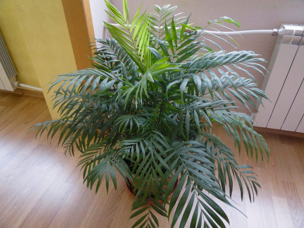Lieknoji palmikė