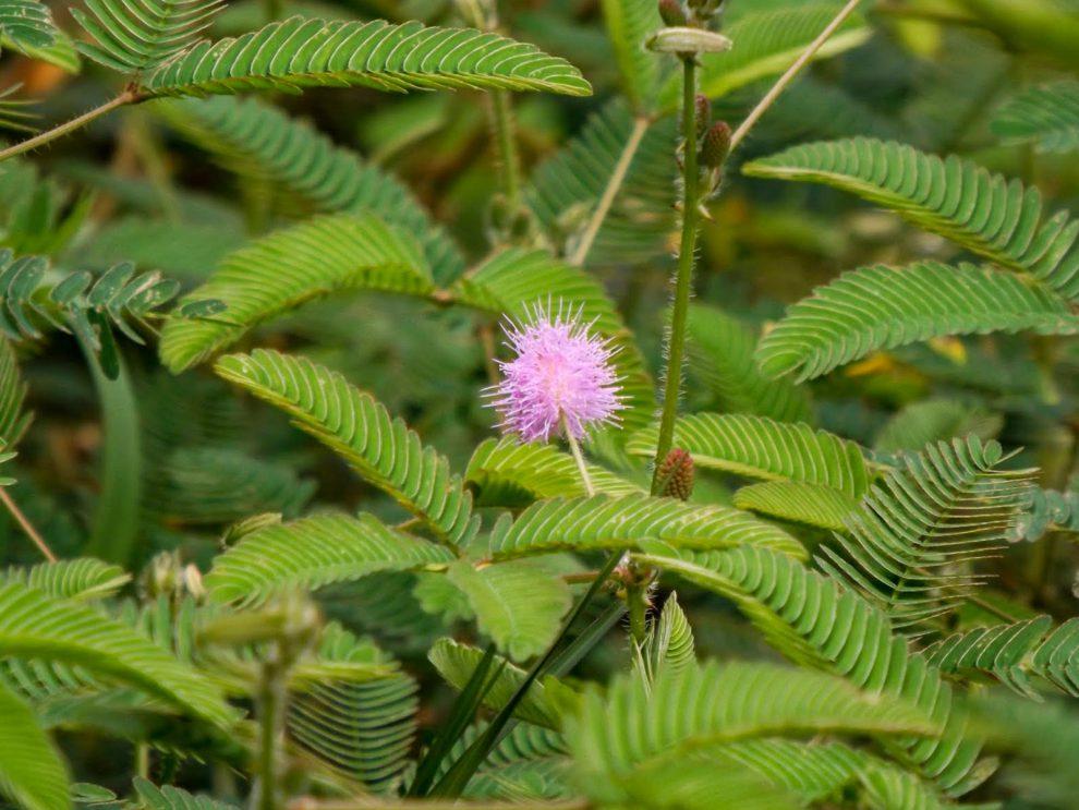 Mimoza (gėlė)