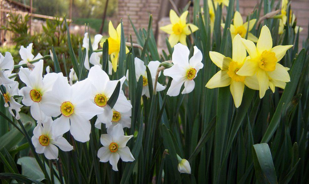 Narcizas (gėlė)