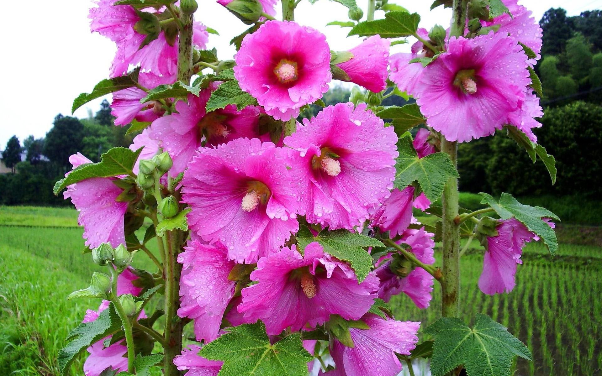 Pilierožių gėlių žiedai
