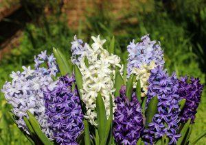 Rytinis jacintas 'hyacinthus orientalis'