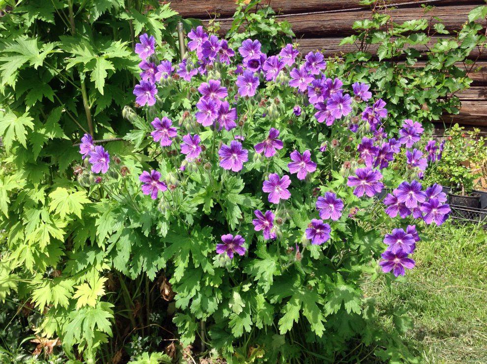 Snaputis (augalas)