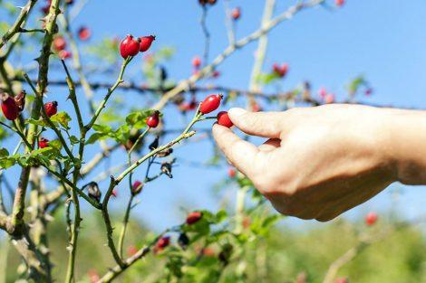 Vaistažolių vaisių (sėklų) surinkimas