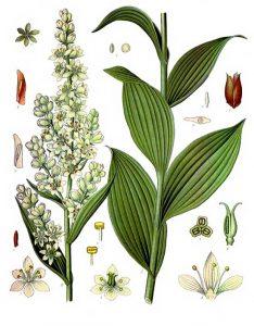 Vaistinis augalas čemerys