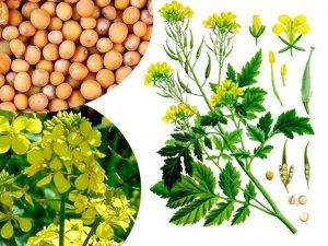Vaistinis augalas Garstyčia