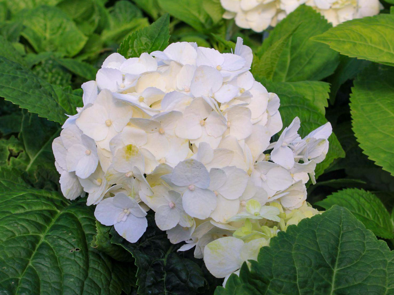 Balta hortenzija 'white delight'