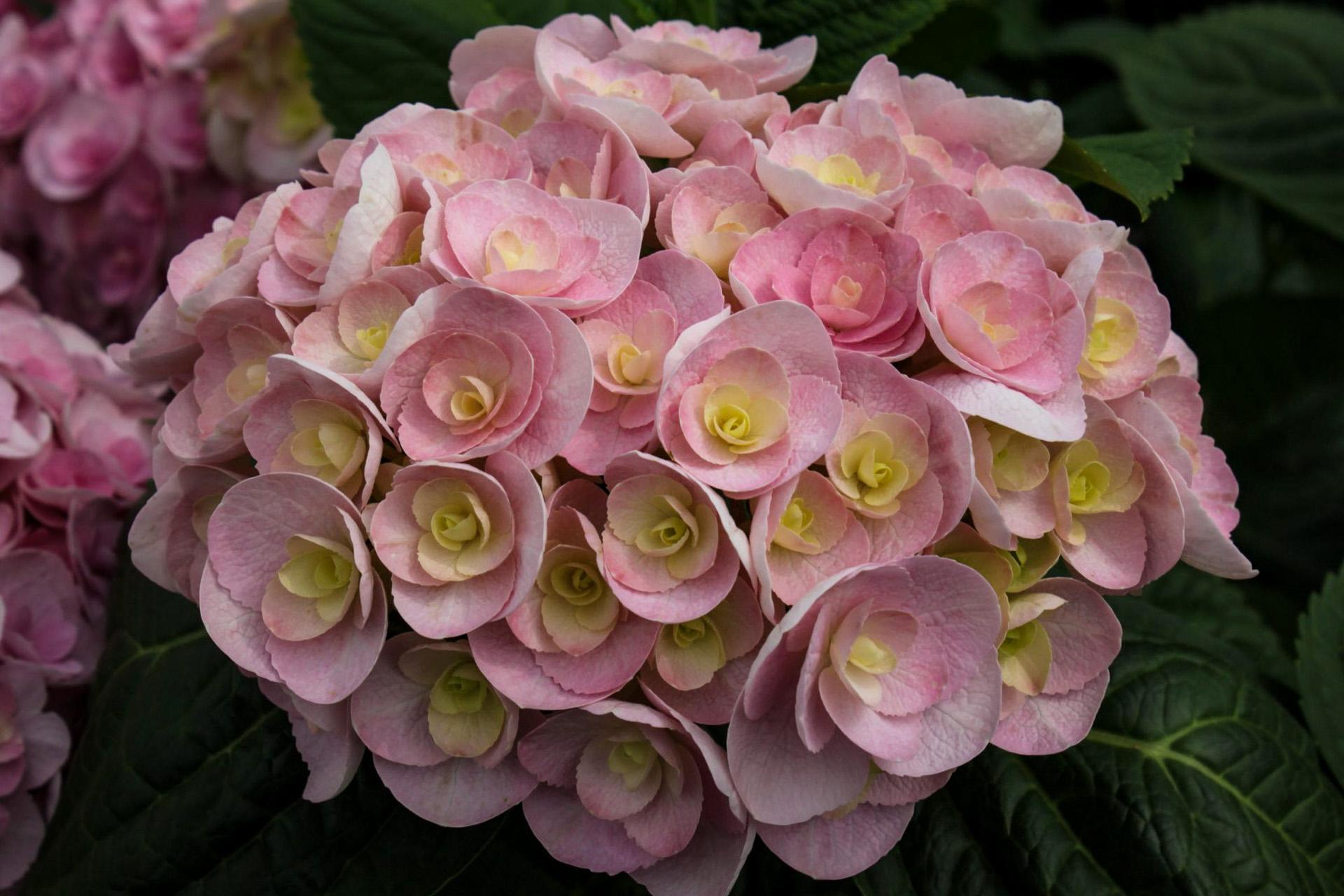 Didžialapė hortenzija 'love'