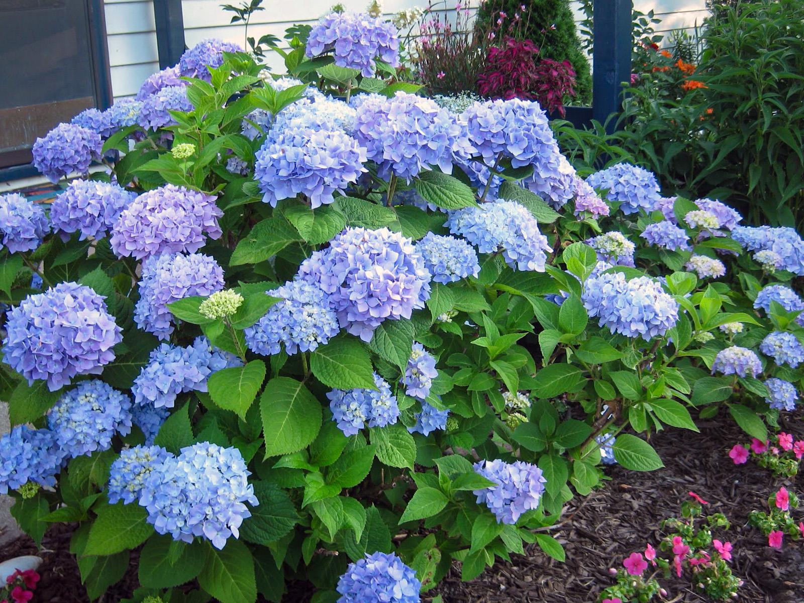 Didžialapė hortenzija 'nikko blue'