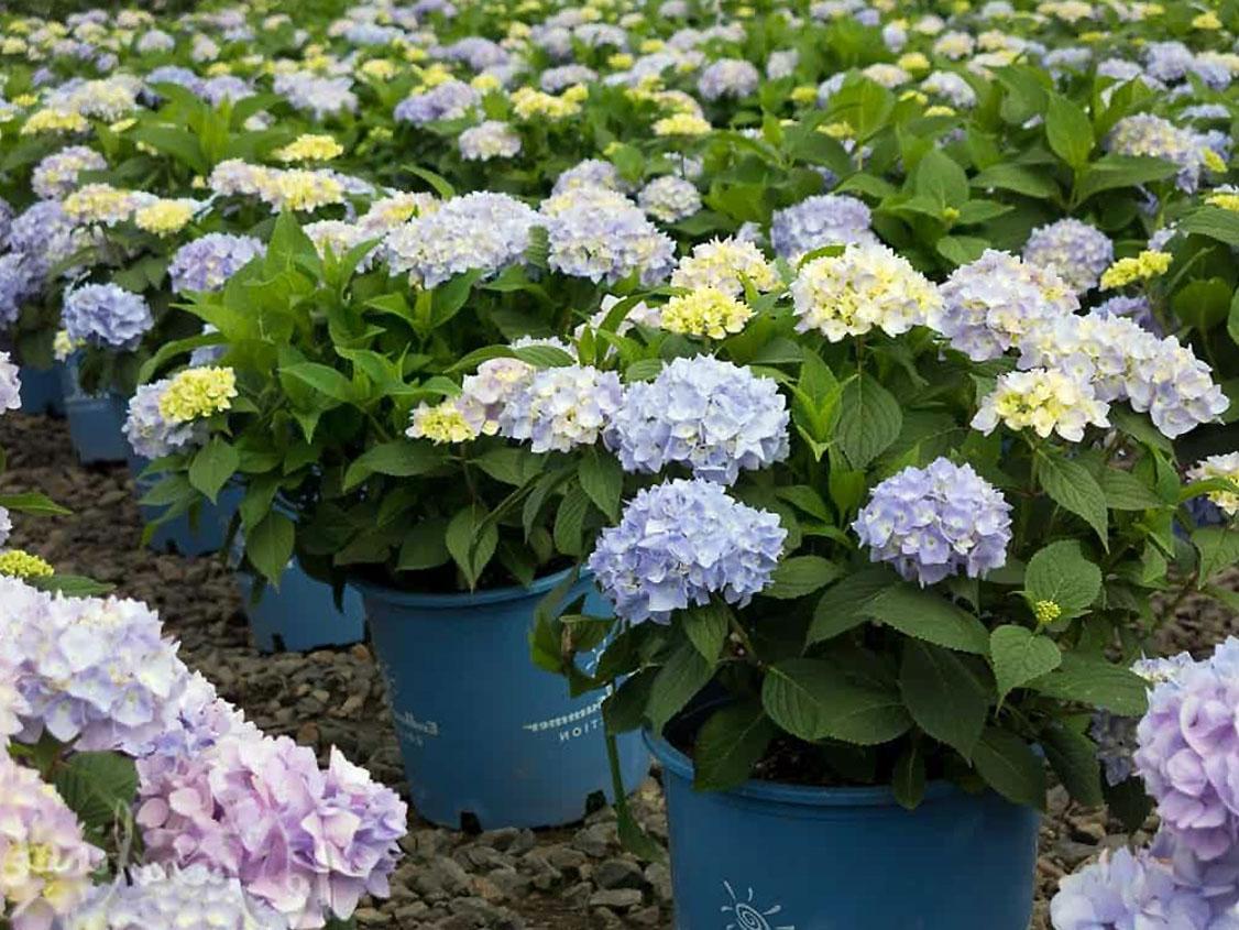 Didžialapė hortenzija vazone