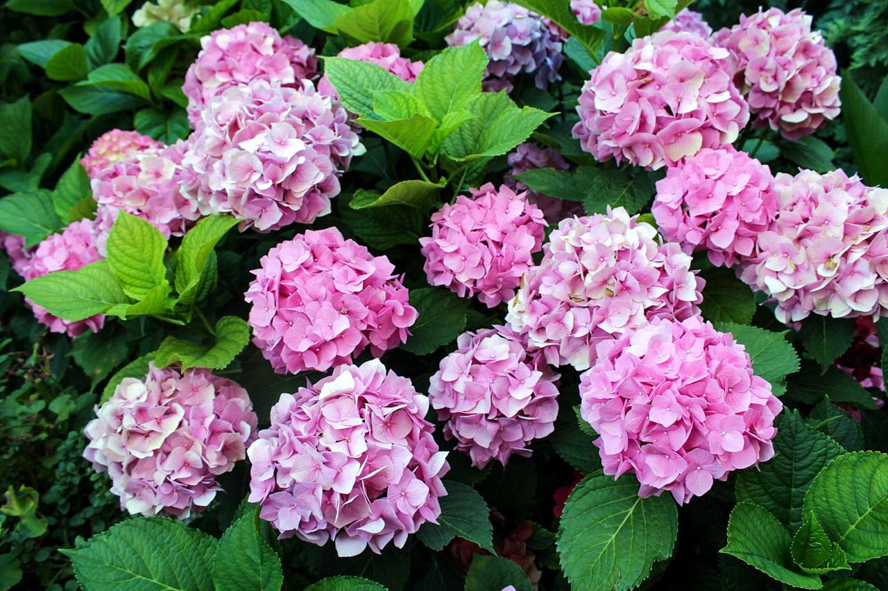 Didžialapės hortenzijos 'bouquet rose'