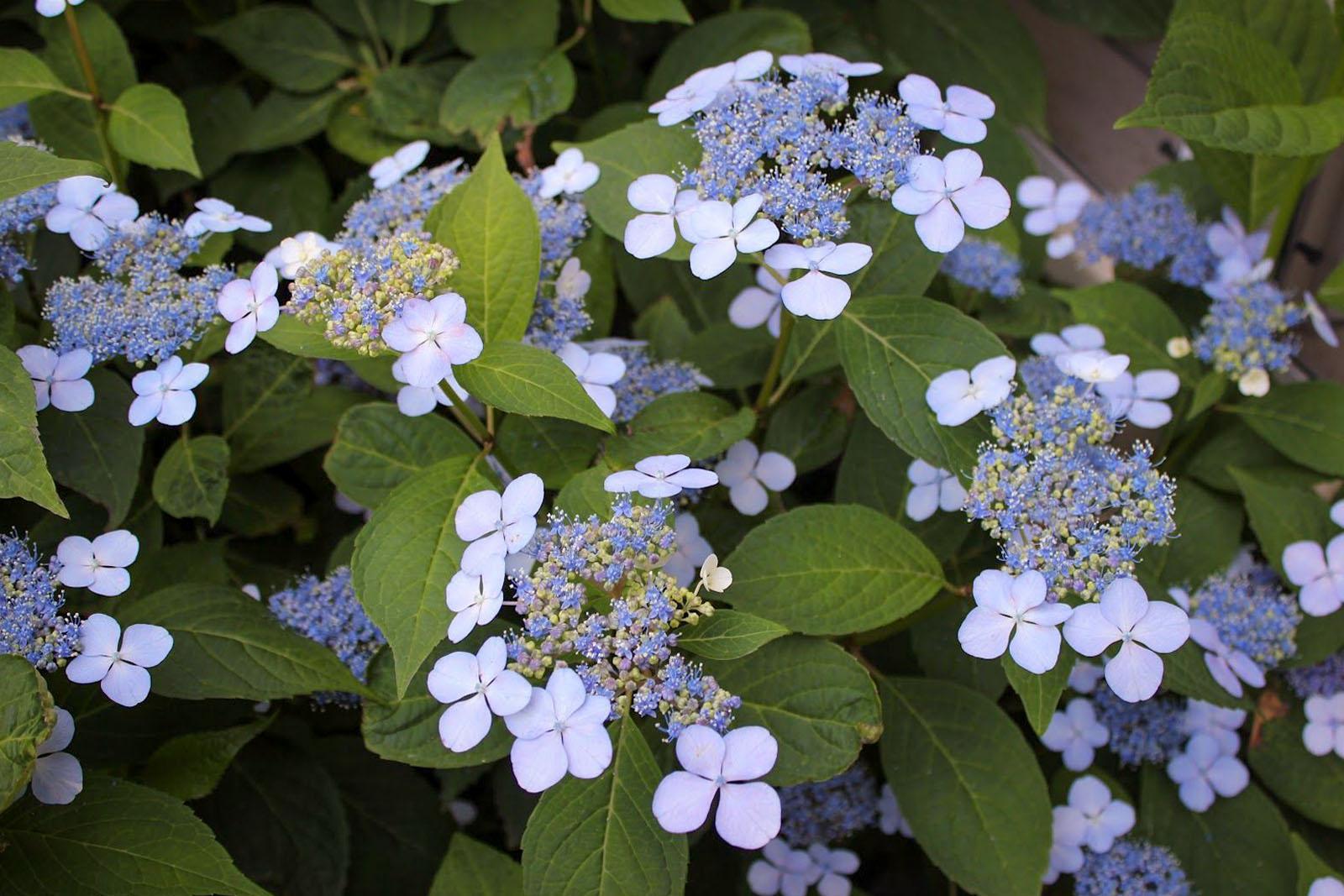 Hortenzija hydrangea serrata