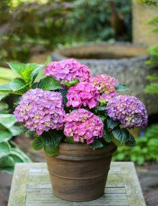 Hortenzija vazone