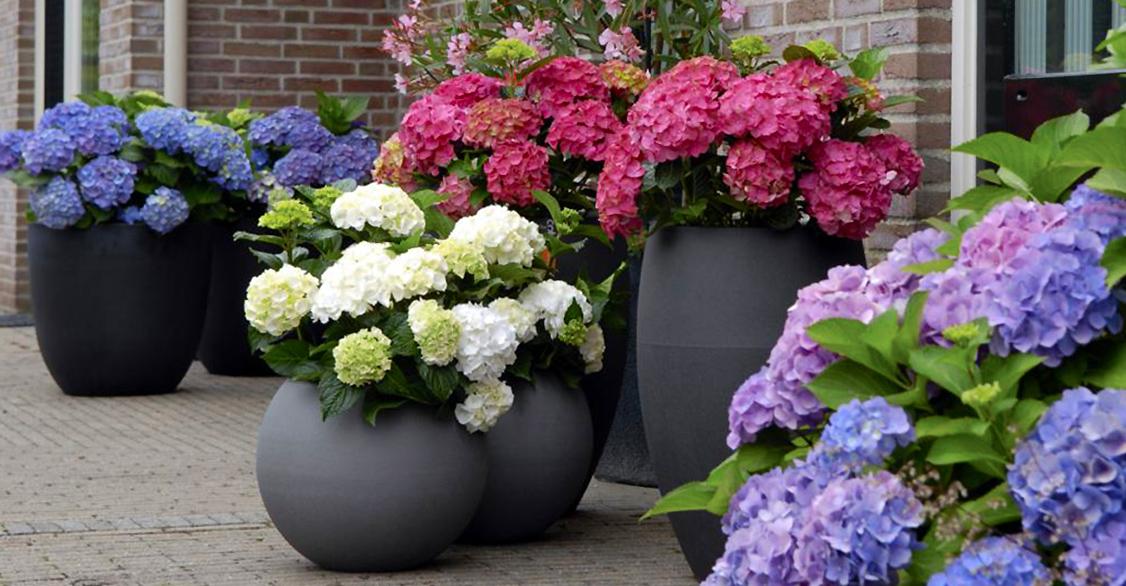 Hortenzijos lauko vazonuose