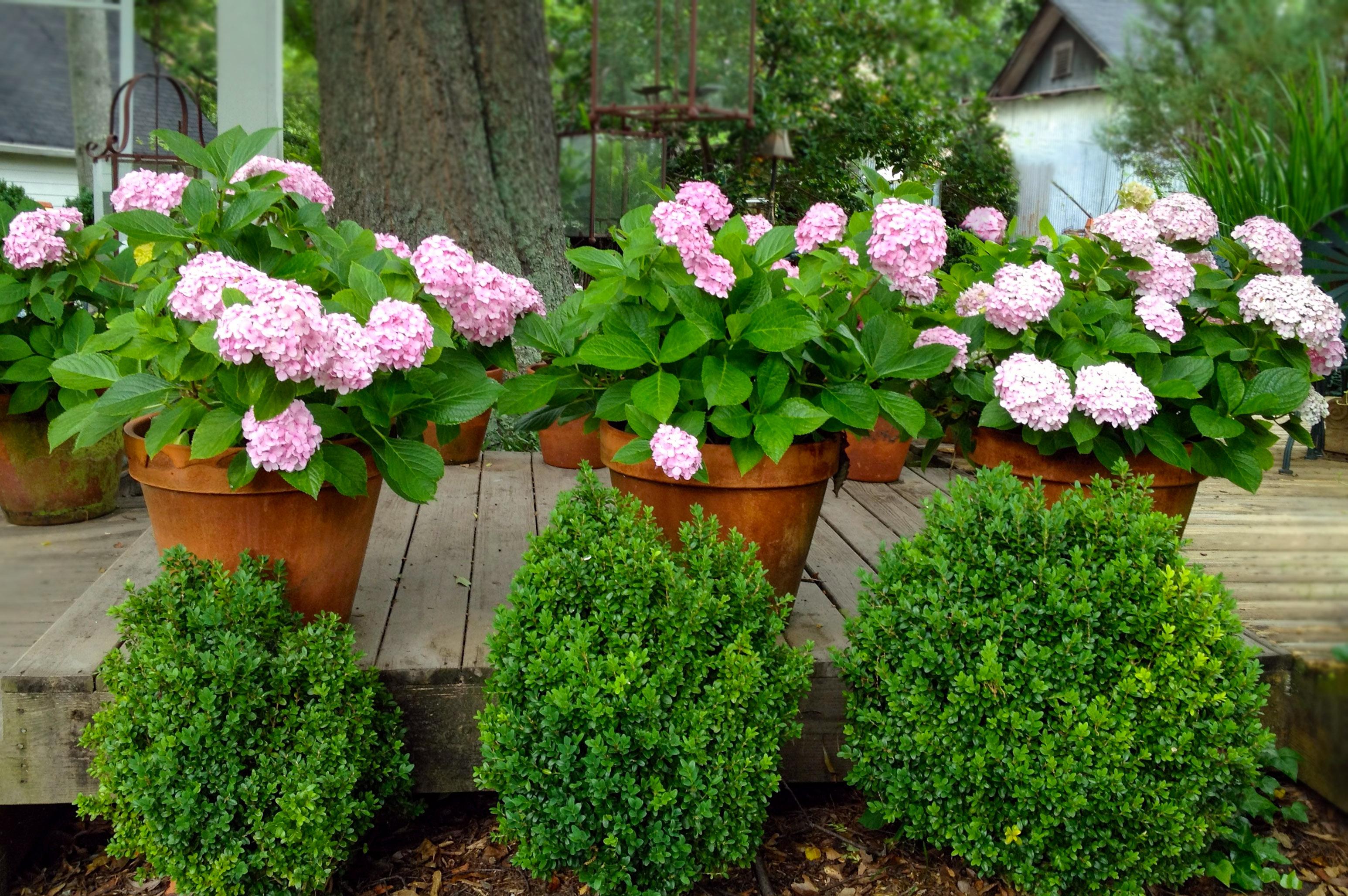 Hortenzijos vazone