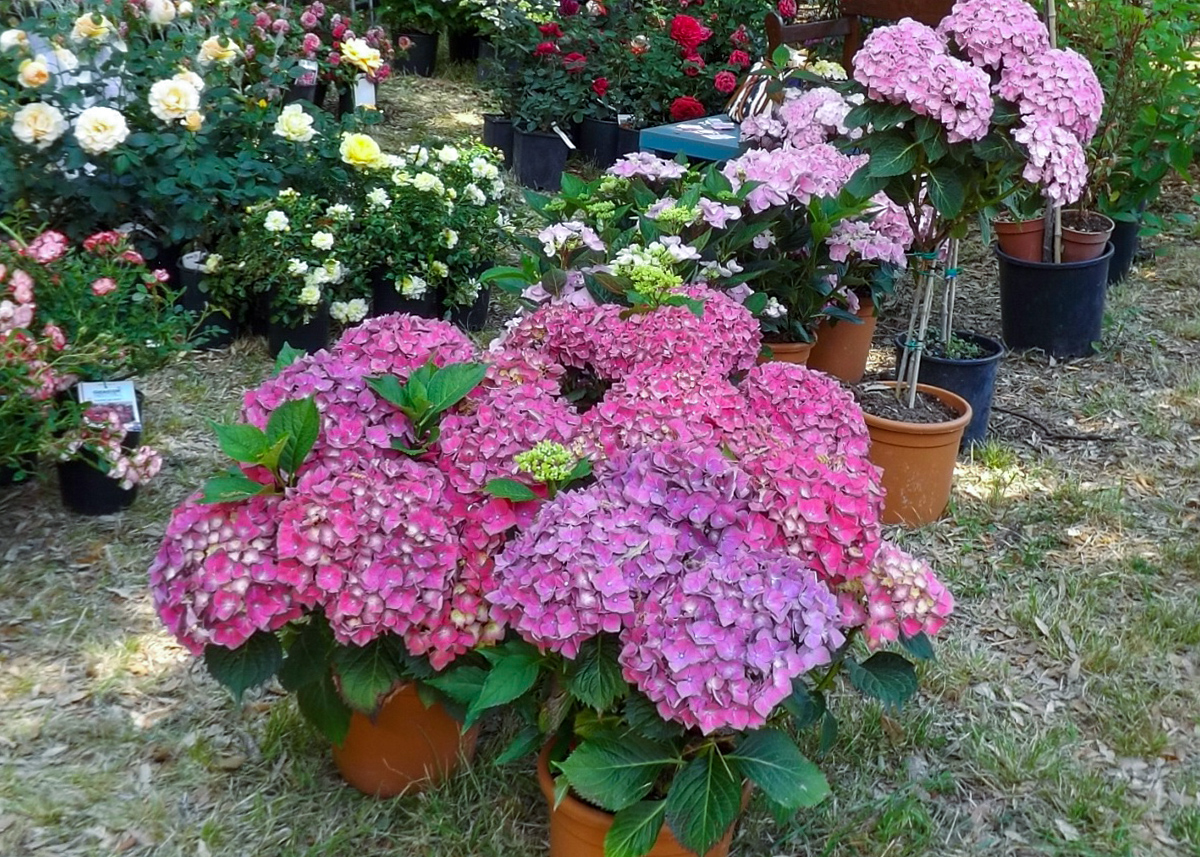 Hortenzijų sodinukai