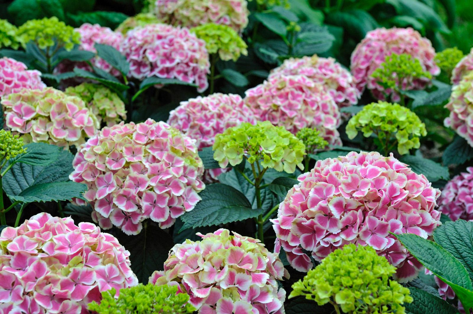 Hortenzijų spalvos