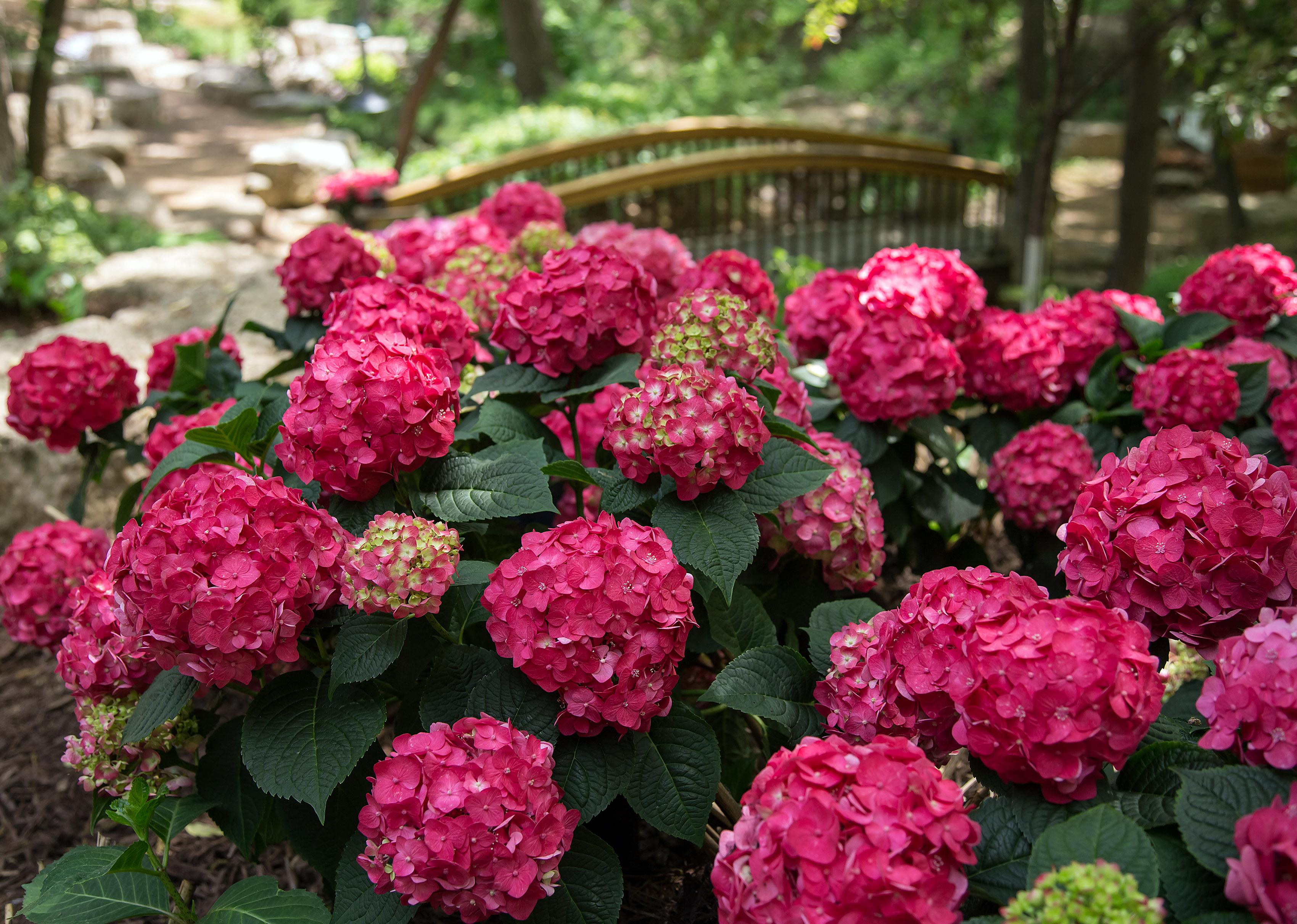 Raudona hortenzija 'ruby'