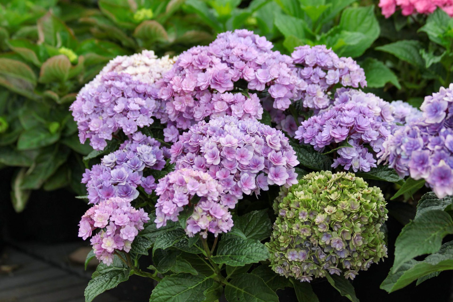 Stambialapė hortenzija violetiniais žiedais