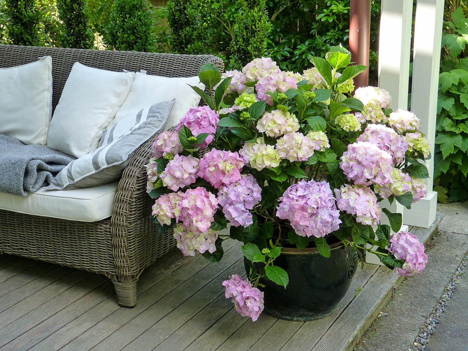 Vazoninė hortenzija