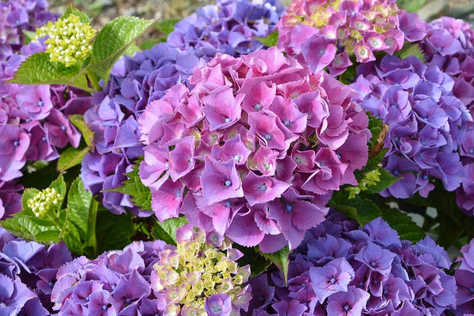 Violetinė hortenzija