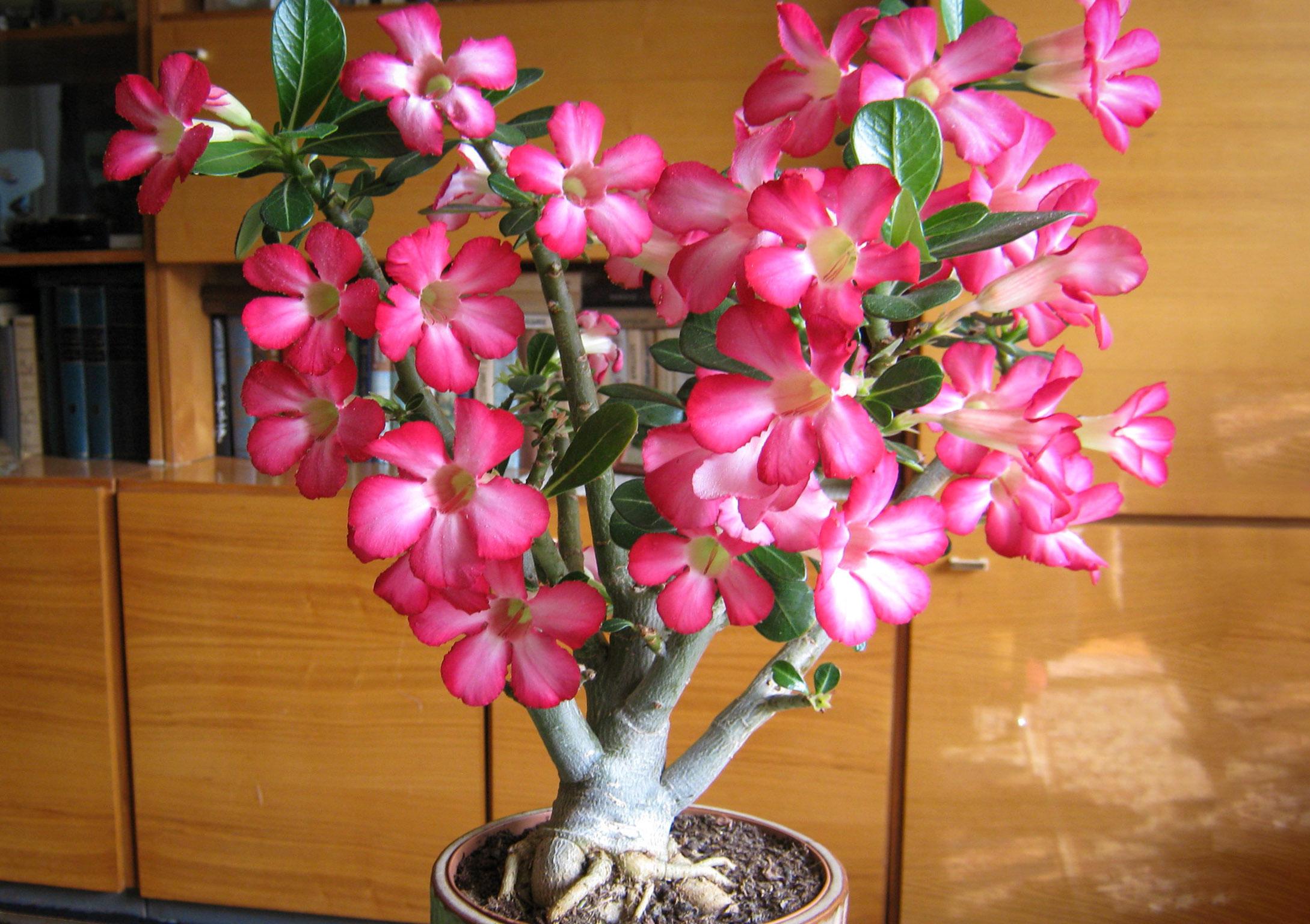 Kambarinė rožė (adeniumas)