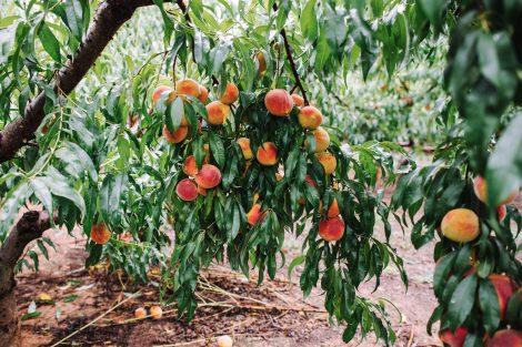 Persikų auginimas