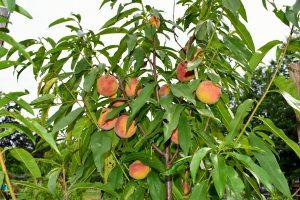 Persikų auginimas lietuvoje