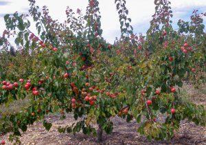 Persikų medis