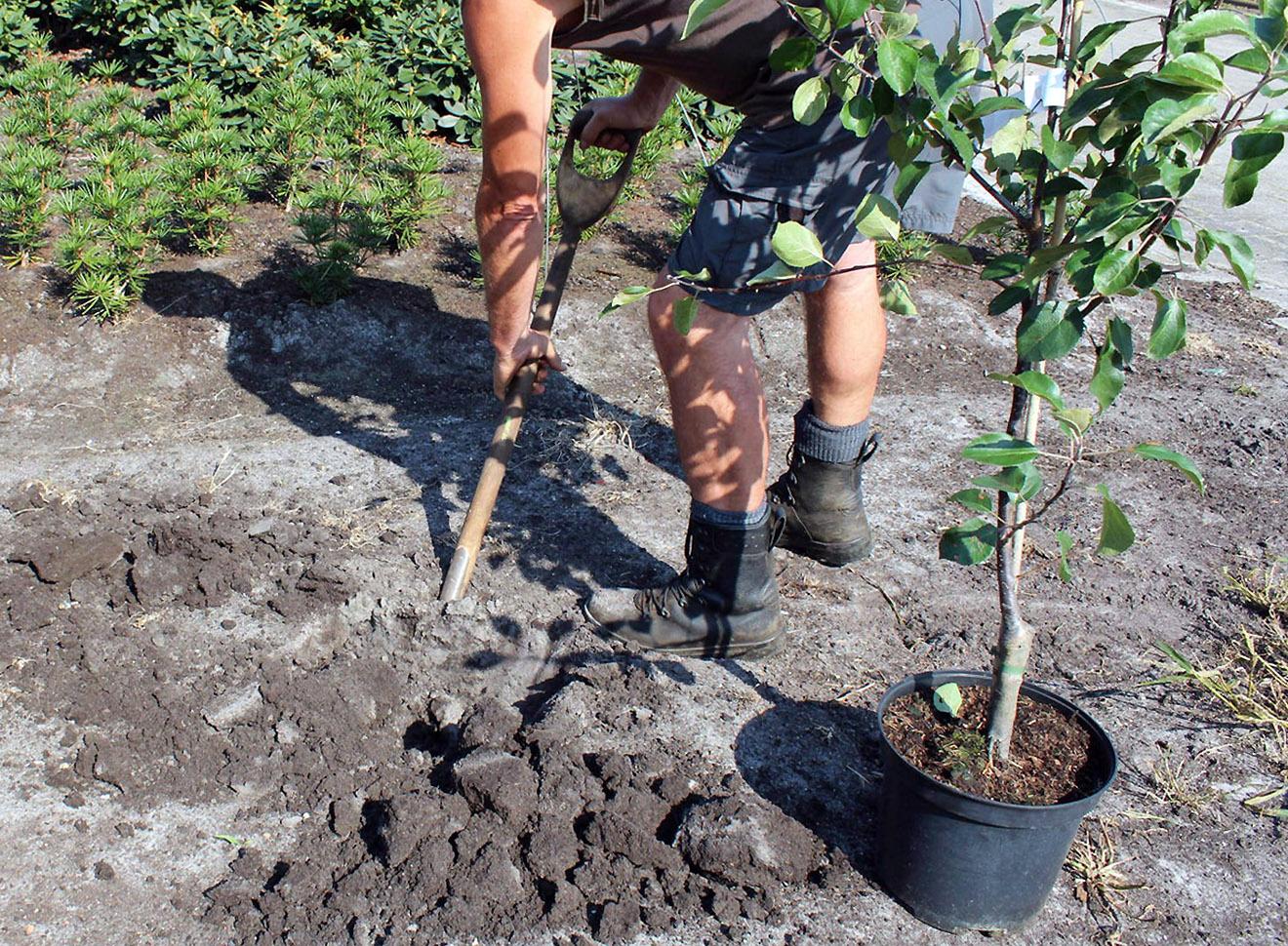 Persikų sodinimas