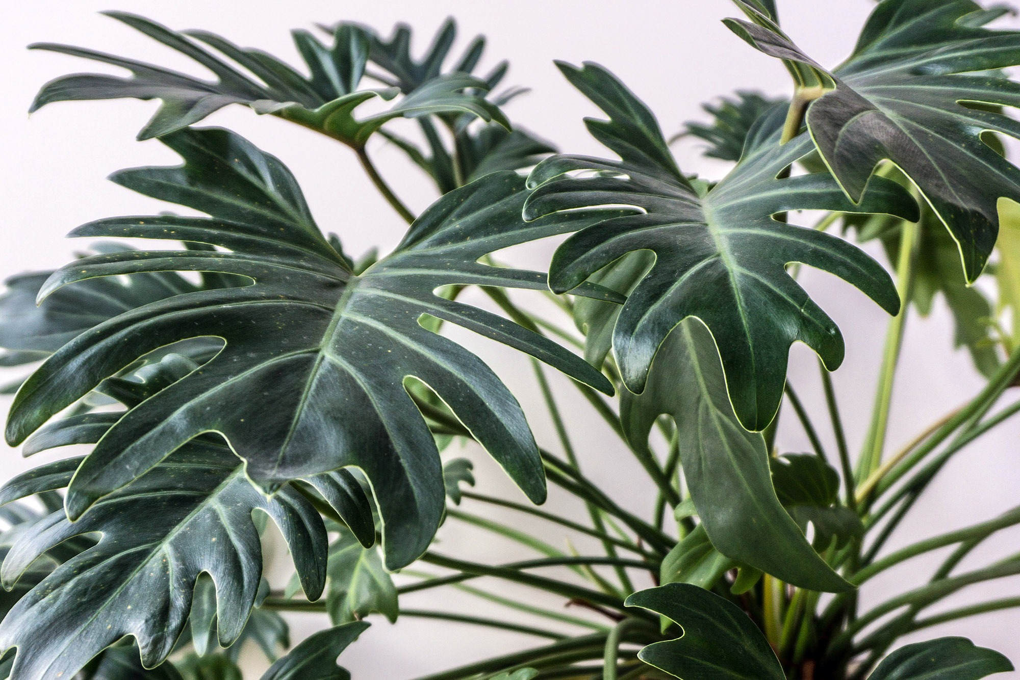 Puošnusis filodendras 'Philodendron elegans'