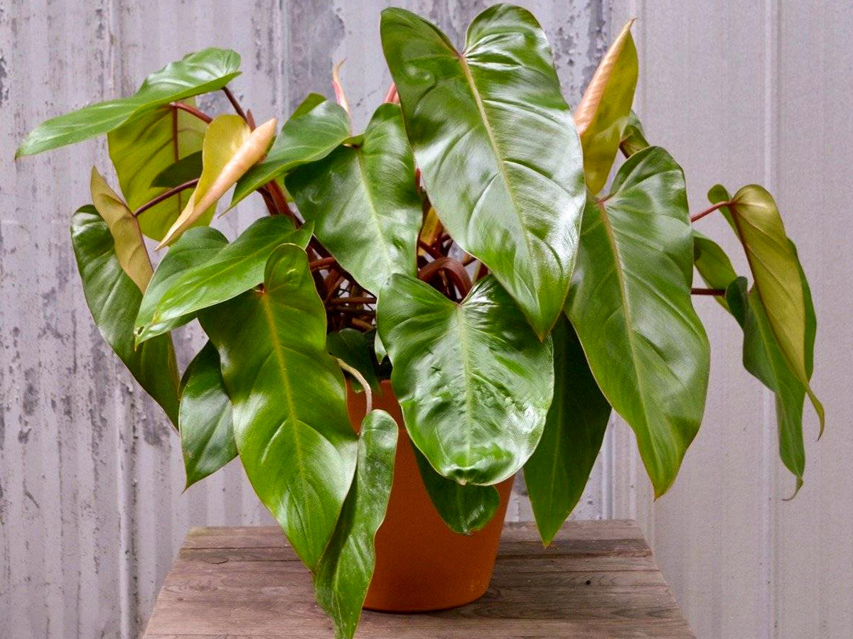 Smaragdinis filodendras 'Philodendron ornatum'