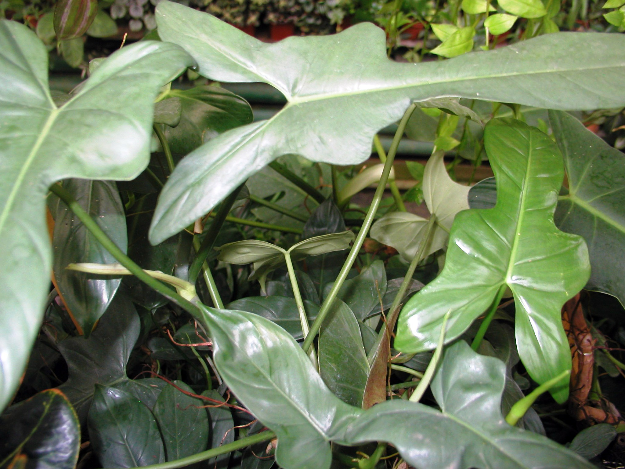 Strėlialapis filodendras 'Philodendron bipennifolium'