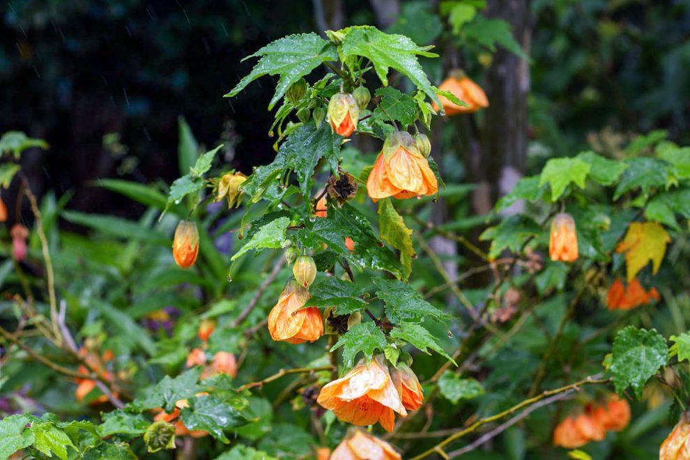 Klevelis (gėlė)