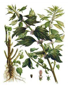Paprastoji sukatžolė botanikoje