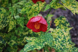 Raibasis galenis (Abutilon pictum thompsonii)
