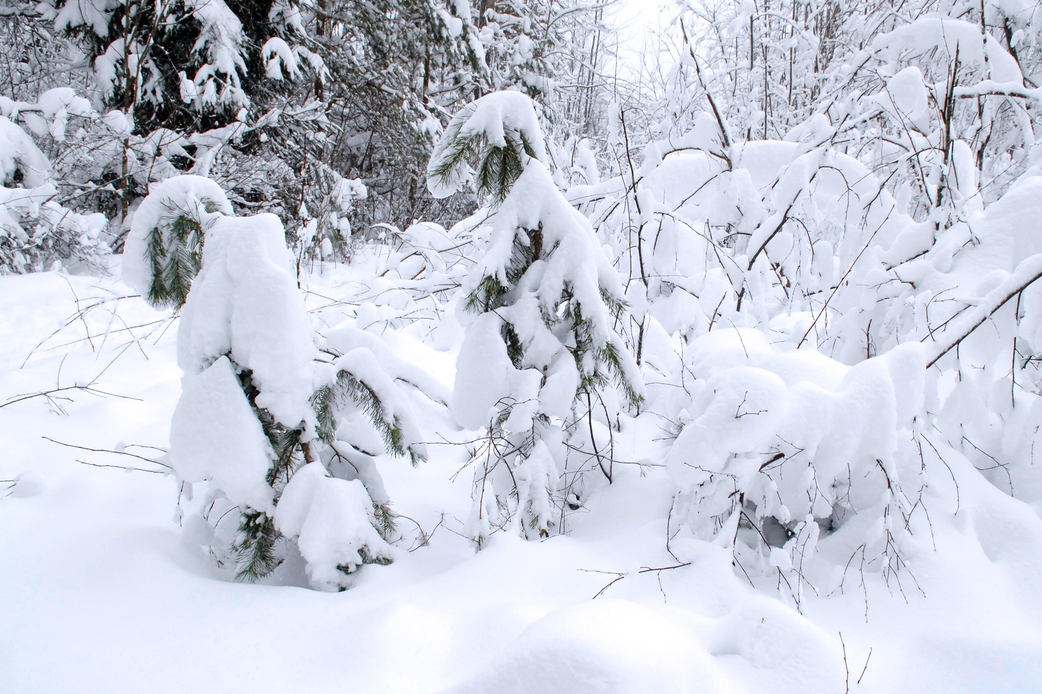 Sniegas ant spygliuočių