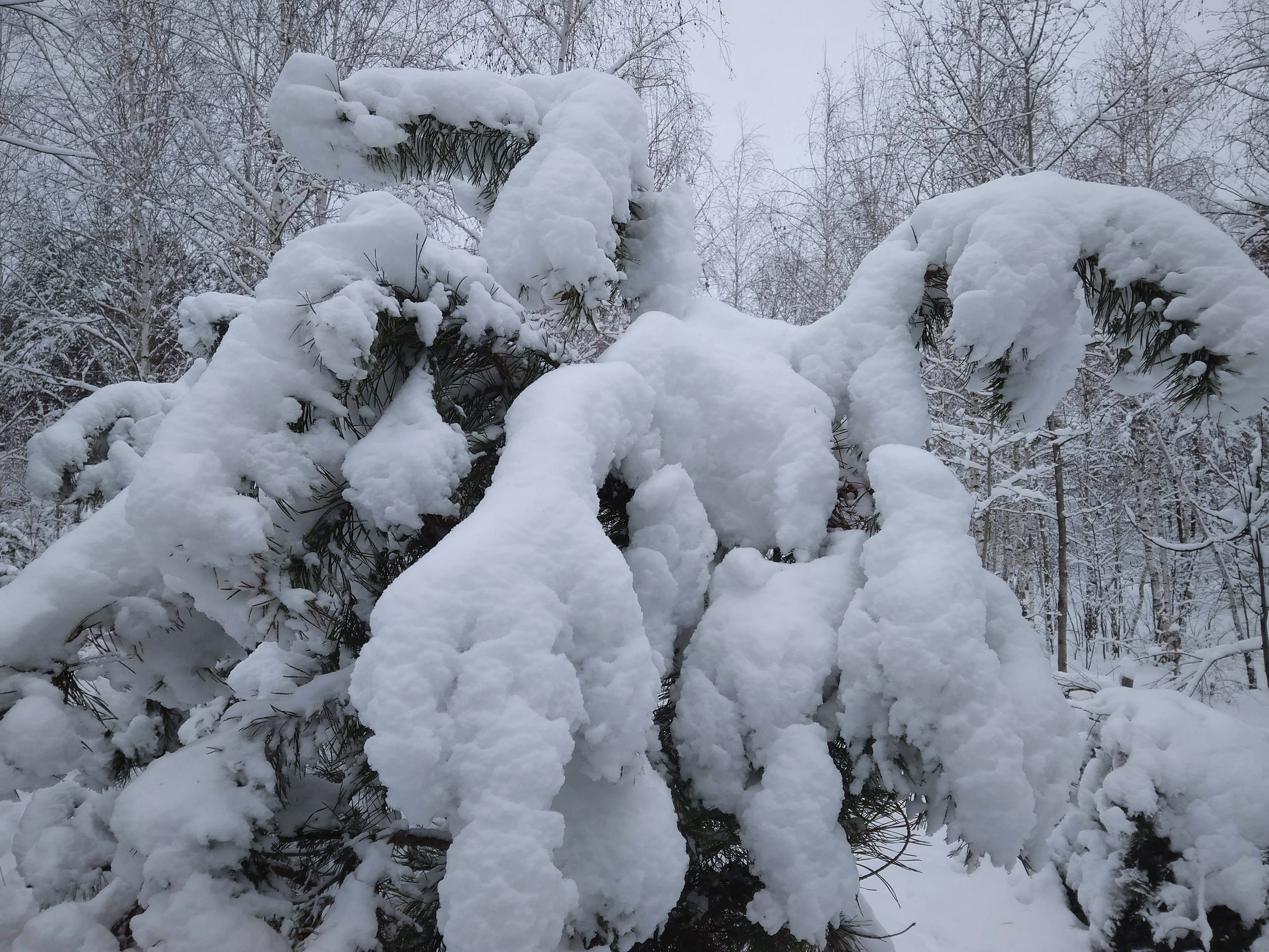 Sniegas laušo šakas