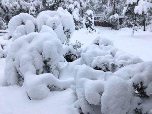 Spygliuočiai po sniegu