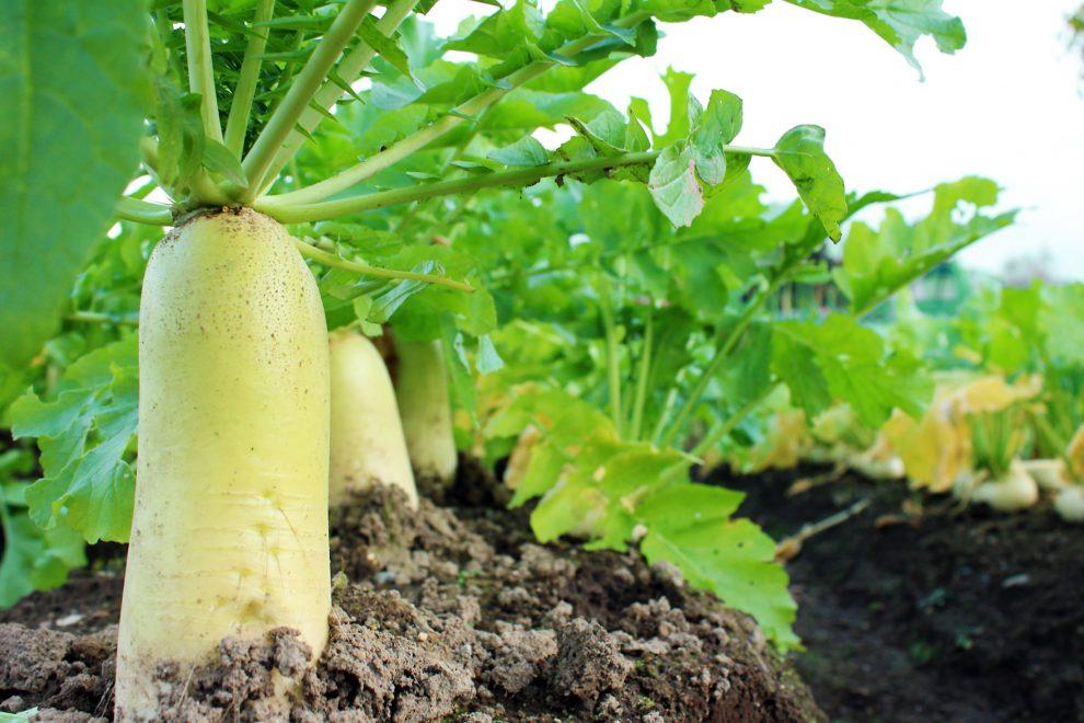 Daikonų auginimas (baltieji ridikai mano sode)