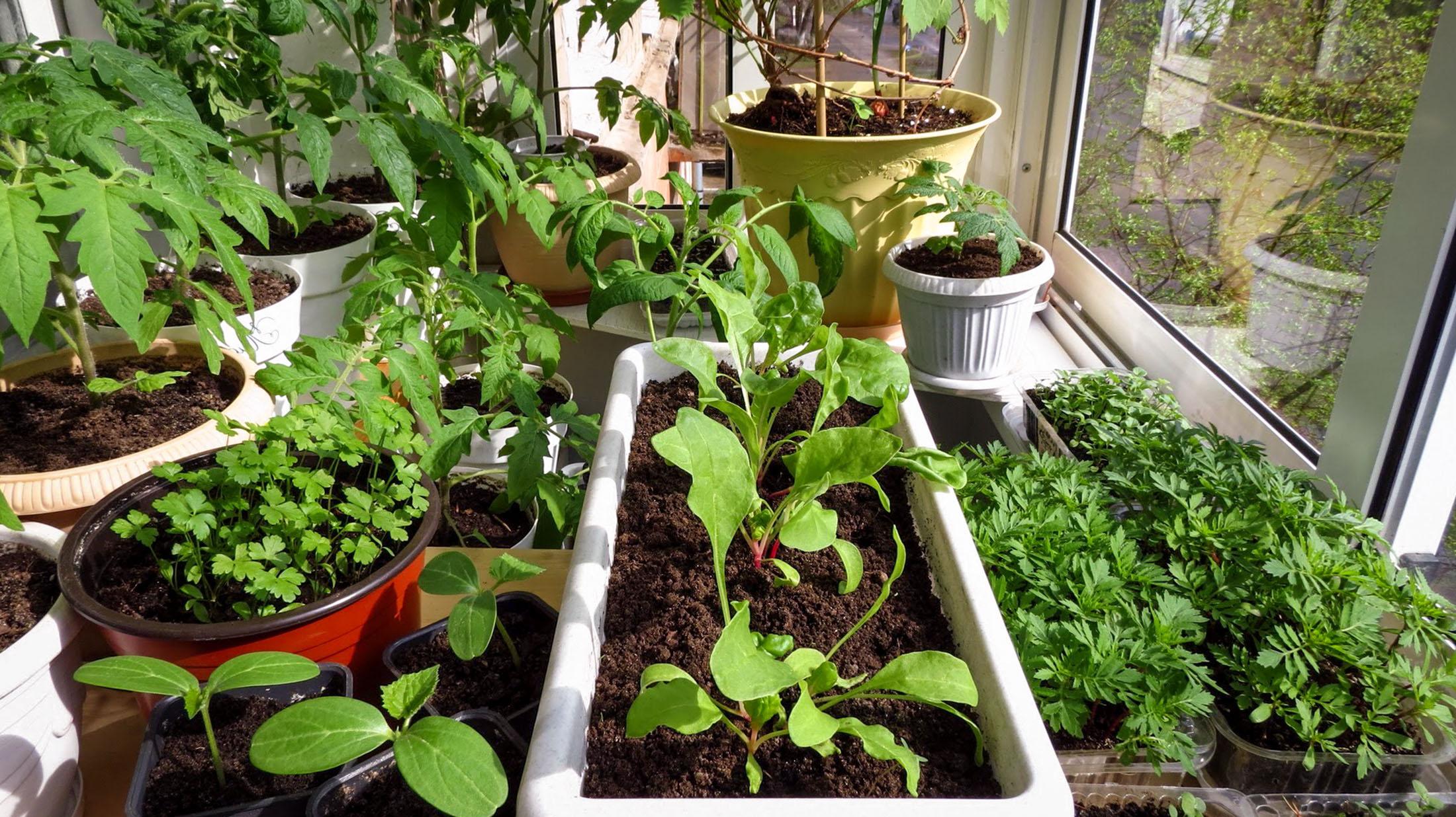 Daržovės ant palangės