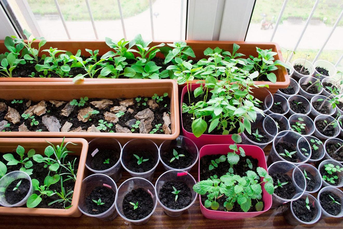 Daržovių daiginimas ant palangės