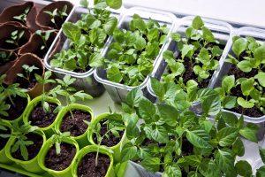 Daržovių sodinimas pavasarį